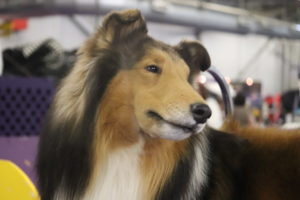 Rough Coated Collie, Windsong Coronation