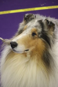 Veteran Rough Coated Collie Saxon (aged 7), preparing for best of breed competition