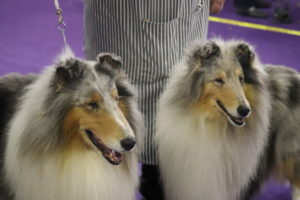 Rough Coated Collies (Saxon and Marilyn) preparing for best of breed competition